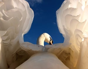 Great Nature Watch: Swan