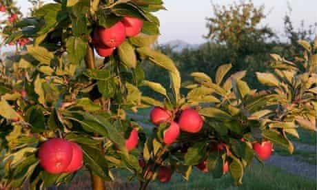 Apple orchard, Somerset