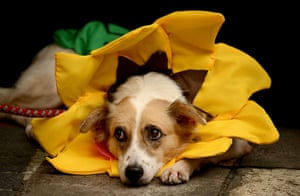 Halloween pets: A dog dressed as a sunflower at the Scaredy Cats and Dogs Halloween costume competition in Manila