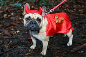 Halloween pets: Buffy the french bulldog dressed in a demon costume at the All Dogs Matter Halloween fancy dress dog walk, Hampstead Heath, London