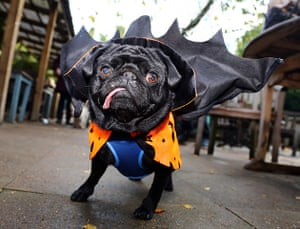 Halloween pets: Boris the pug in a vampire costume at the All Dogs Matter Halloween fancy dress dog walk, Hampstead Heath