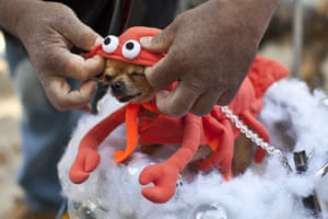 Halloween pets: A chihuahua is helped into a lobster costume at the Tompkins Square Halloween dog parade in New York