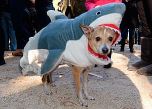 Halloween pets: A dog in a shark costume at the Tompkins Square halloween parade, New York