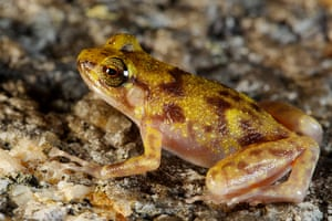 New species of Queensland: Boulder frog