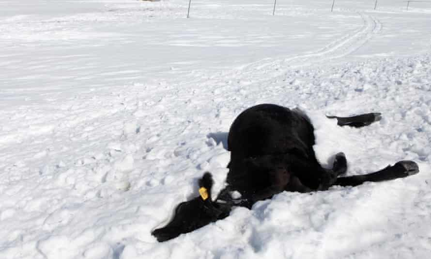 A dead cow lies in the snow in South Dakota