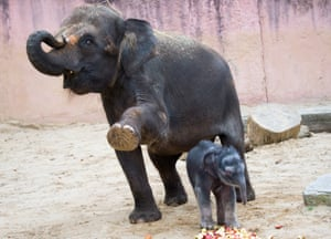 Whoops:  A two-day-old elephant offspring gets in a way at the Zoo in Hanover, Germany.
