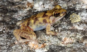 The blotched boulder-frog was among three new vertebrate species discovered in Cape Melville, Australia