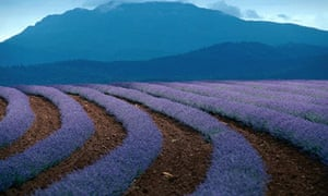 Rows of flowers at the lavender farm in Tasmania