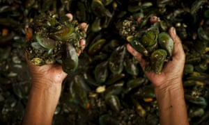 Clenched mussels... Authorities in Jakarta have put a hold on issuing permits to farmers harvesting green mussels in the bay of Jakarta due to the poor water quality.