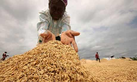 A farmer spreads rice to dry in the sun in Afife. Gadco's smallholder scheme could help secure Ghana