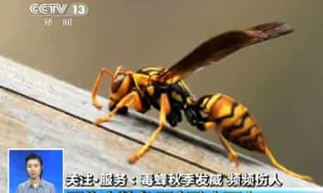 A Chinese news channel TV shows one of the hornets in Anhang, Shanxi province