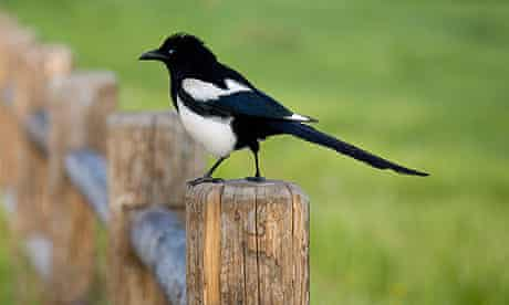 Magpie bird sitting on a fence post in the early morning light