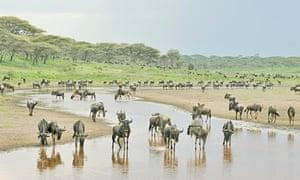 Migrating wildebeest in Serengeti national park, Tanzania.