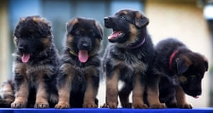 Today's cute animal picture is these 6-week-old German Shepherd puppies in Melbourne, Australia.