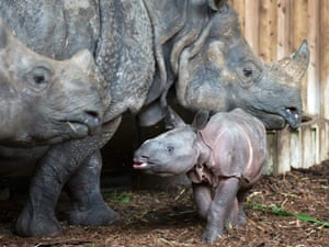 A young Indian rhinoceros named Kiran with his mother Ellora and sister Henna at the zoo in Basel, Switzerland. Kiran was born on 05 October and is the first Indian rhinoceros in a European zoo who was born in the presence of a older sibling.