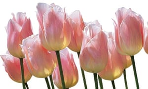 Gardens: forcing tulips