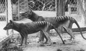 Tasmanian Tiger in captivity.