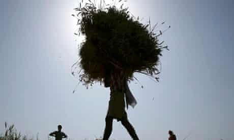 Farmer carries harvested wheat crop India