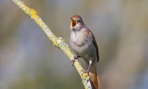 A nightingale in full voice. A colony of 85 male birds in Kent is the largest remaining in the UK. It is threatened by a housing development. Biodiversity offsetting, the relocation of the birds and habitat, has been proposed as a solution to the impasse.