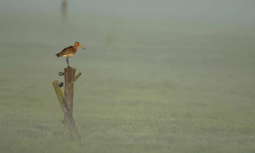 Blak-tailed godwit