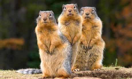 Three Columbia Ground Squirrels
