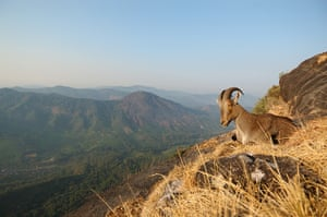 Nature reserves: These Nilgiri tahr, mountain goats, make these rocky cliffs their home. The