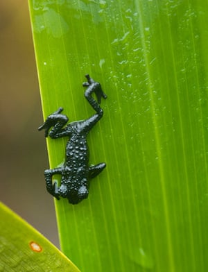 Nature reserves: Roraima Black Frog