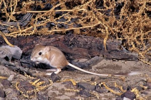 Nature reserves: Kangaroo Rat, Desert Dipodomys deserti, California,