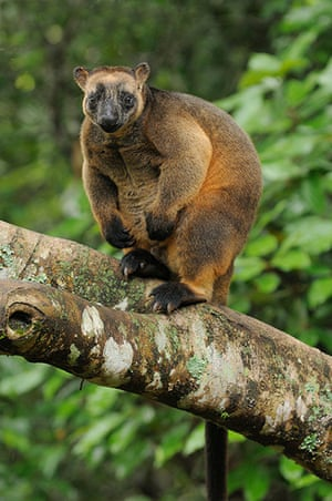 Nature reserves: Lumholtz's Tree Kangaroo (Dendrolagus lumholtzi) in north Queensland, Austr