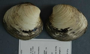 Ming the Clam, more than 500 years old.