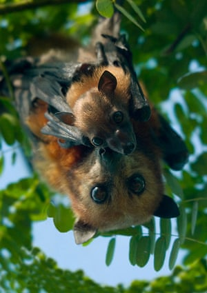 Nature reserves: Flying foxes, Philippines