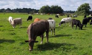 Stock. Cattle. Waveney valley. Suffolk. Photograph: Gaham Turner