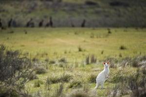 Kangaroo: rare albino Kangaroo