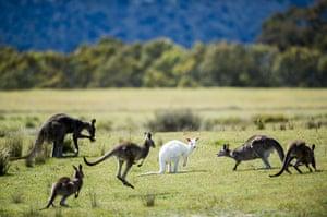 Kangaroo: A rare albino Kangaroo