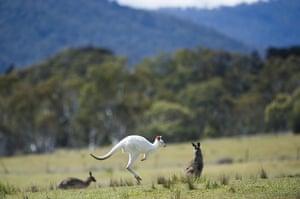 Kangaroo: Roo Hopping
