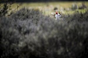 Roo: A rare albino Kangaroo at the Namadgi National Park