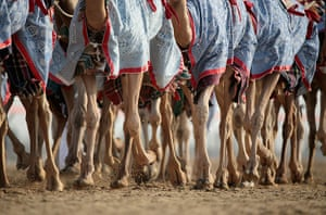 From the agencies camels: Camels arrive for racing at Dubai Camel Racing Club