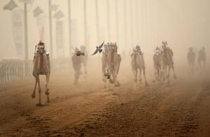 From the agencies camels: Robotic jockeys race camels through a sandstorm