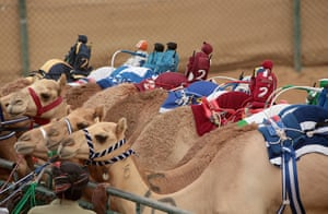 From the agencies camels: Robotic jockeys sit on camels waiting for the start of a race