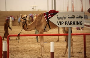 From the agencies camels: A camel is tethered to a railing after racing