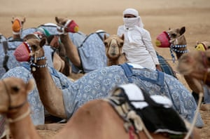 From the agencies camels: A handler wraps up against a sandstorm as camels wait to race