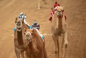 From the agencies camels: Robotic jockeys control camels during a race