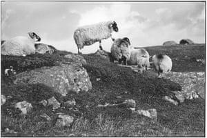Elliott Erwitt: Sheep on rocky terrain