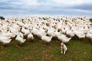original observer: Christmas Geese