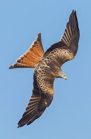 BTO birds: Red kites