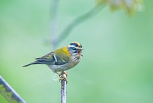 BTO birds: Firecrest Regulus ignicapillus in song Norfolk April