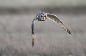 BTO birds: Short-eared Owl