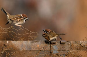 BTO birds: Tree Sparrow (Passer montanus)