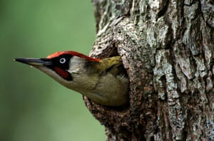 BTO birds: Eurasian Green Woodpecker