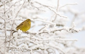 BTO birds: Adult female Yellowhammer